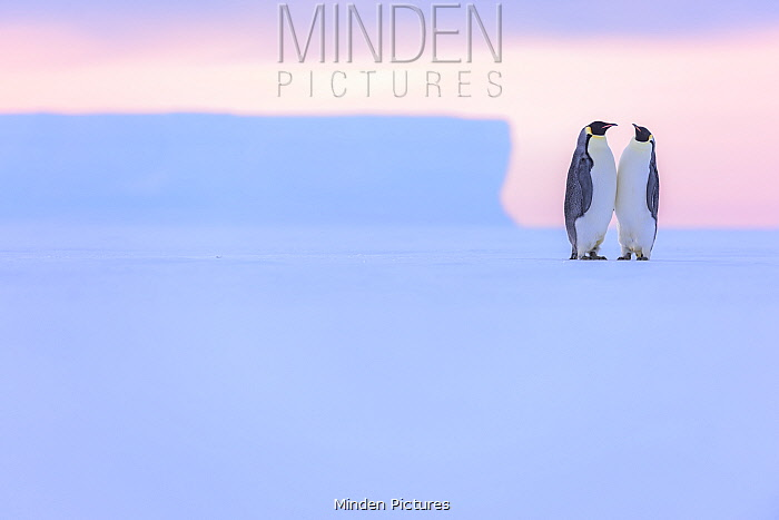 Emperor penguins (Aptenodytes fosteri) in courtship, Antarctica. Bookplate.