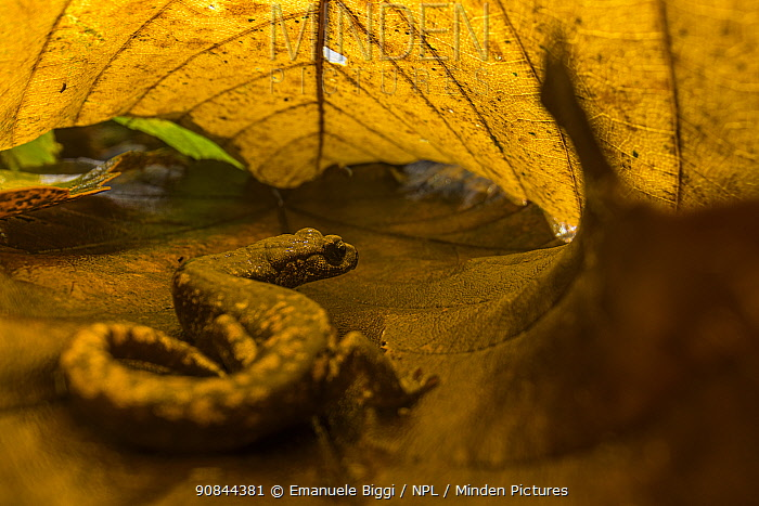 Strinatii lungless salamander (Speleomantes strinatii) hiding under chestnut leaves into a deciduous wood in Northern Italy. San Bartolomeo di Savignone, Italy. October. Finalist in the Terrestrial Wildlife Category of the Big Picture Photography Competition 2020.