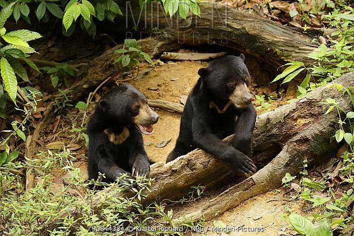 Sun bears (Helarctos malayanus) juvenile, sit together, at the Borrnean Sun Bear Conservation Centre, rehabilitation centre, , Sandakan, Sabah, Borneo, Malaysia. Vulnerable species.