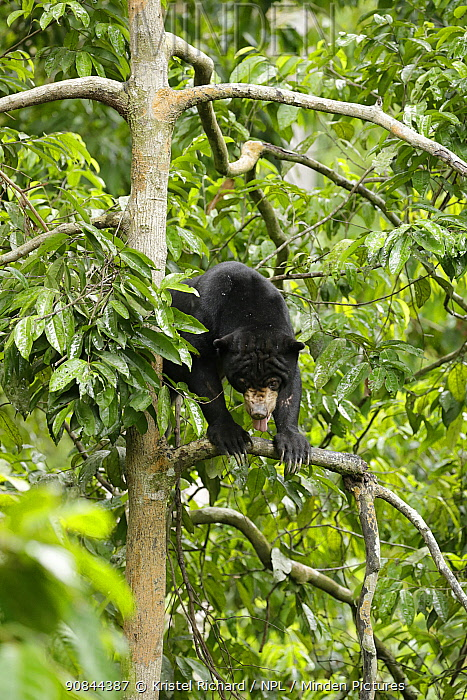 Sun bear (Helarctos malayanus) in the forest canopy, at the Borrnean Sun Bear Conservation Centre, rehabilitation centre, , Sandakan, Sabah, Borneo, Malaysia. Vulnerable species.