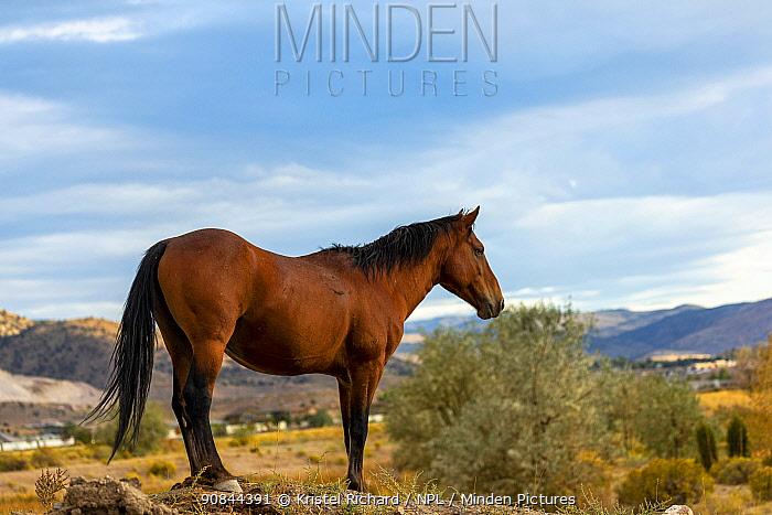 Wild stallion stands on a rock, near Reno, Nevada, USA.