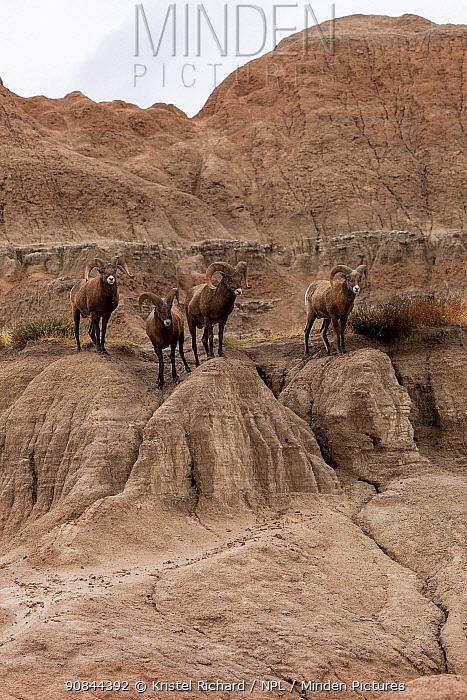 Four Bighorn Sheep (Ovis Canadensis) rams stand together before the rutting season, Badlands National Park, South Dakota, USA