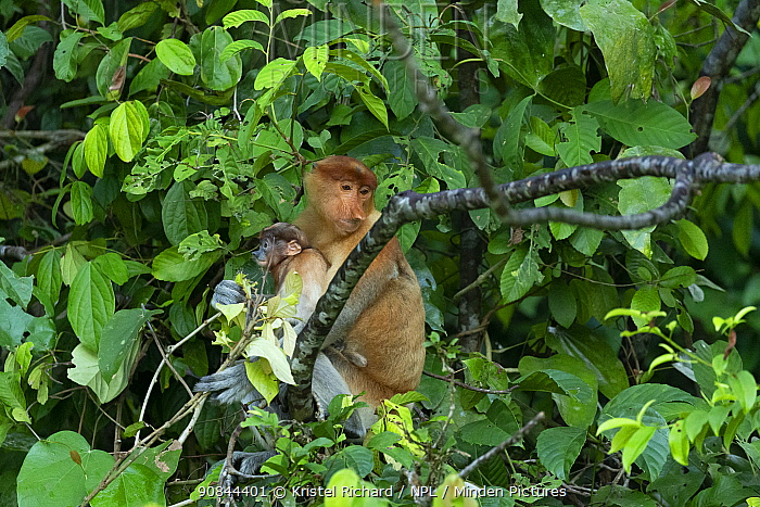Proboscis monkey (Nasalis larvatus) female with baby on her belly, Kinabatangan River, Sabah, Borneo, Malaysia. Endangered species.