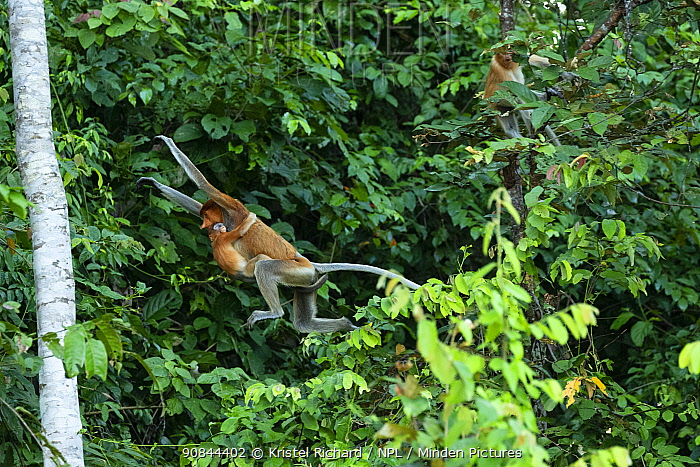 Proboscis monkey (Nasalis larvatus) female with baby attached to her belly, jumping through the forest canopy, Kinabatangan River, Sabah, Borneo, Malaysia. Endangered species.
