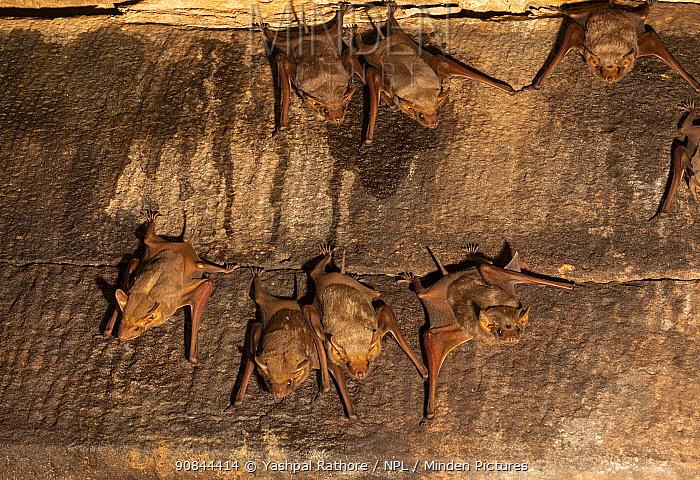 Naked-rumped tomb bats (Taphazhopus theobaldi), in 6th century AD old Shiv temple. Badami , Karanataka, India