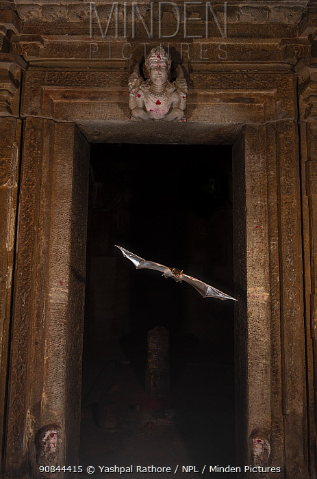 Naked-rumped tomb bats (Taphazhopus theobaldi), flying out of Garbhgriha stone carved door of 6th century AD old Shiv temple. Badami , Karanataka, India