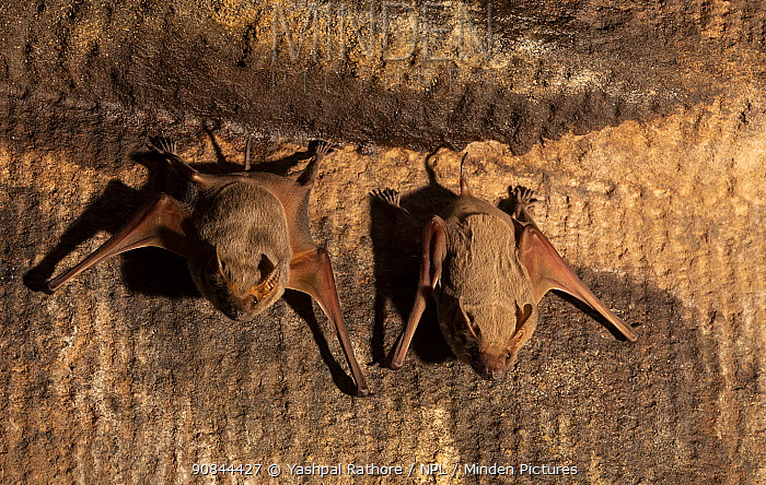 Naked-rumped tomb bats (Taphazhopus theobaldi), roosting on wall of 6th AD century old Shiv temple. Badami, Karanataka, India