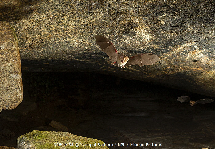 Fulvus leaf-nosed bat (Hipposideros fulvus), flying out of its roosting cave at dusk. Karanataka, India
