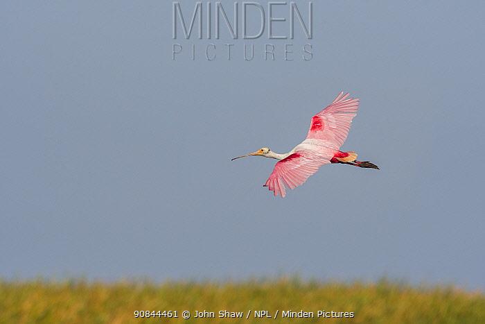 Roseate spoonbill (Platalea ajaja) flying over marsh grasses. St. Johns Management Area, Florida, USA. April.