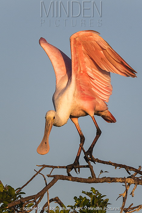 Roseate spoonbill (Platalea ajaja) at its nesting colony site, in early morning light. St. Johns Management Area, Florida, USA. March.