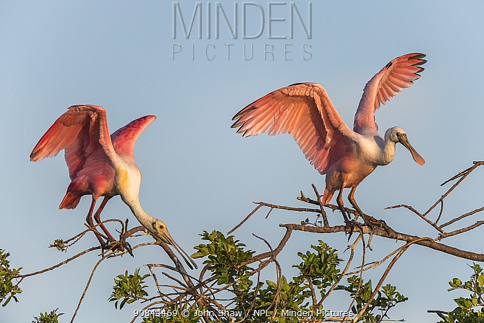 Two roseate spoonbills (Platalea ajaja) nesting colony site, in early morning light. Adult left, immature right. St. Johns Management Area, Florida, USA. March.