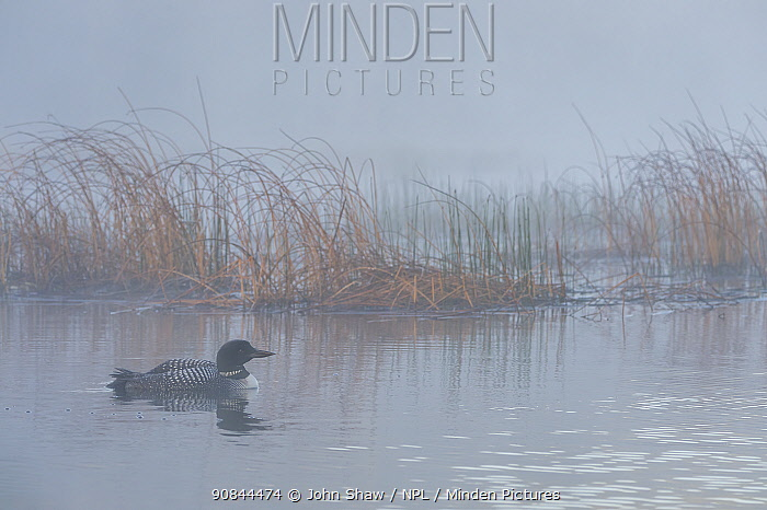 Common loon (Gavia immer) on a foggy morning. British Columbia, Canada. June.