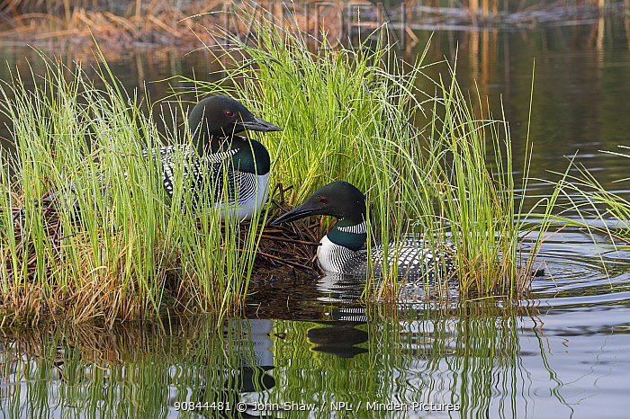 Common loon (Gavia immer) on nest with mate nearby. British Columbia, Canada. June.