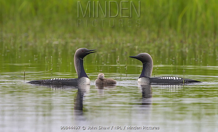 Pacific loons (Gavia pacifica) on tundra pond with chick, Nome, Alaska, USA, July.