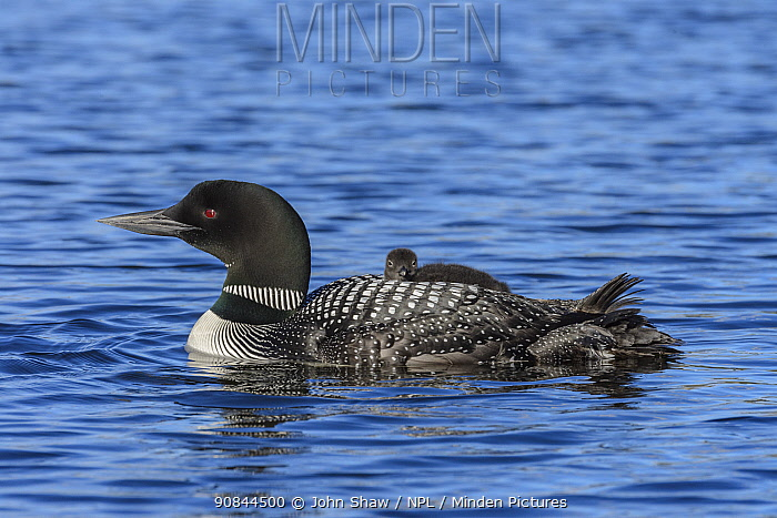 Common loon (Gavia immer) carrying a chick on its back. British Columbia, Canada. June.