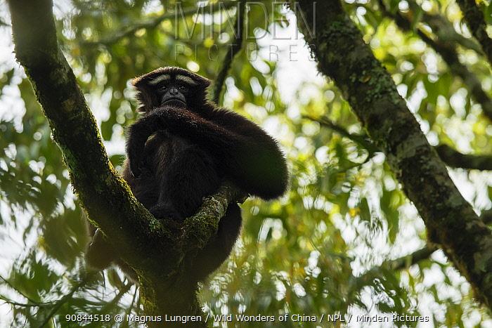 Skywalker hoolock gibbon / Gaoligong hoolock gibbon (Hoolock tianxing) Gaoligong Mountains National Nature Reserve, Yunnan Province, China