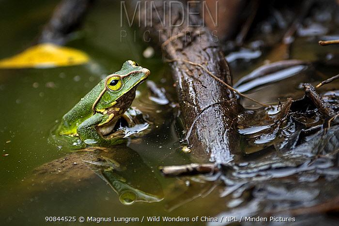 Gaoligongshan tree frog (Racophorus gongshanensis) Gaoligong Mountains National Nature Reserve, Yunnan Province, China.