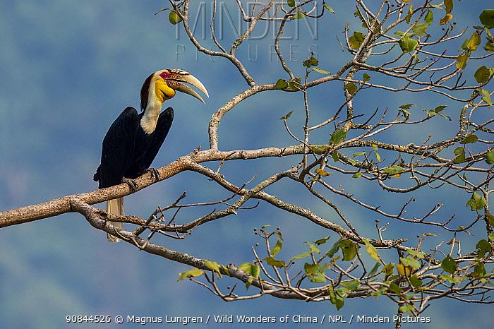 Wreathed hornbill (Rhyticeros undulatus) Yunnan, China.