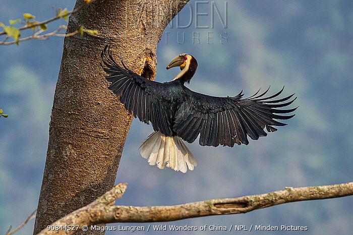 Wreathed hornbill (Rhyticeros undulatus) landing at nest hole, Yunnan province, China.
