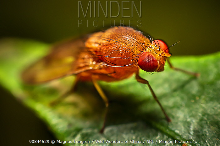 Red minute fly with facetted eyes, Dehong, Yunnan Province, China