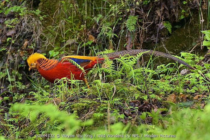 Golden pheasant (Chrysolophus pictus) male, Tangjiahe Nature Reserve, Sichuan, China.
