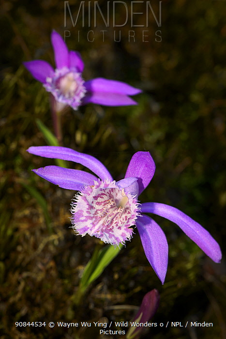 Hardy chinese orchid (Pleione limprichtii) Tangjiahe Nature Reserve, Sichuan, China.