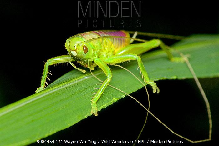 Ant cricket (Myrmecophilidae) Lamma Island, Hong Kong, China