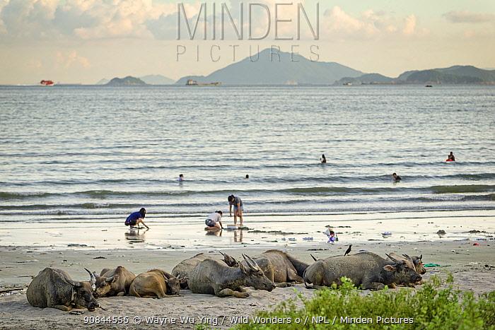 Wild buffalos (Bubalus arnee) resting on the beach, Pui O, Lantau Island, Hong Kong, China