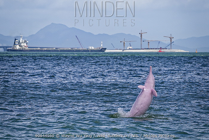 Indo-Pacific humpback dolphin (Sousa chinensis) leaping, Tai O, western side of Lantau Island, Hong Kong, China