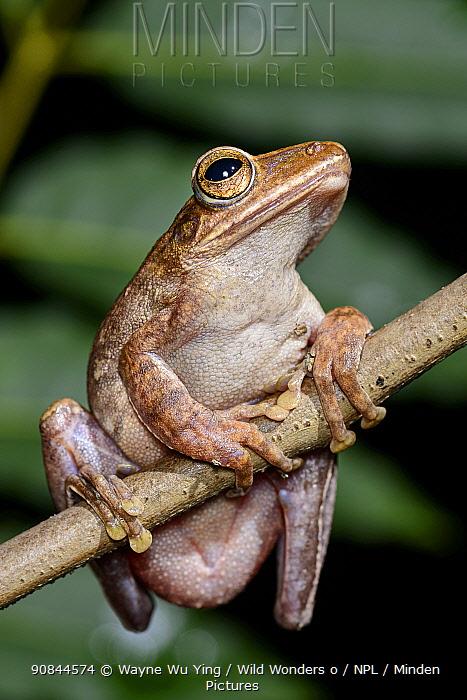 Brown tree frog (Polypedates megacephalus) southwestern coast of Lantau Island, Hong Kong, China