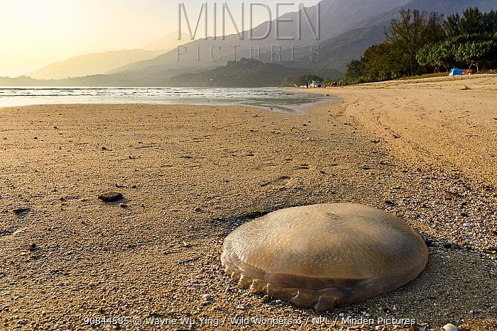 Stranded jellyfish on Pui O beach, Lantau Island, Hong Kong, China