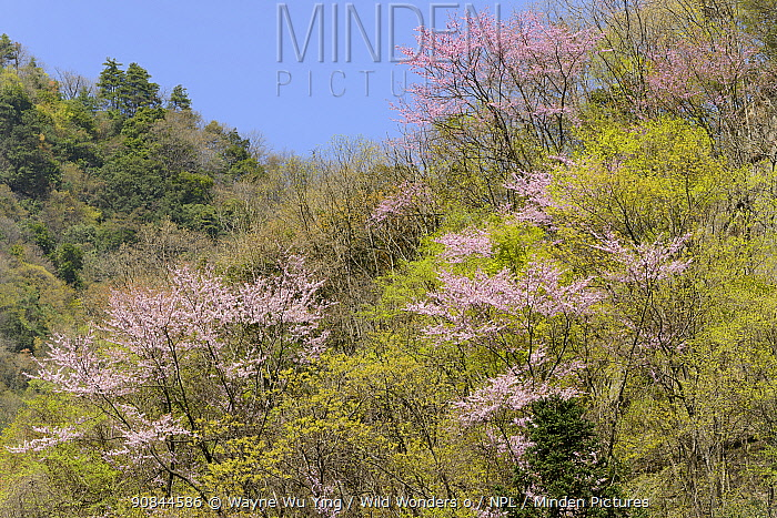 Chinese redbud (Cercis chinensis) in flower, Tangjiahe Nature Reserve, Sichuan, China.