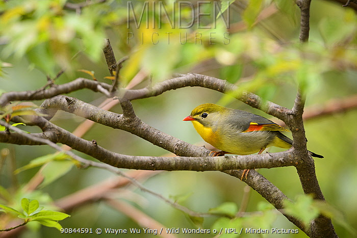 Red-billed leiothrix (Leiothrix lutea) perched on branch Tangjiahe Nature Reserve, Sichuan, China.