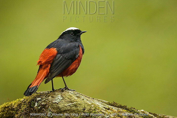 White-capped redstart (Chaimarrornis leucocephalus) sitting on stone in Tangjiahe Nature Reserve, Sichuan, China.