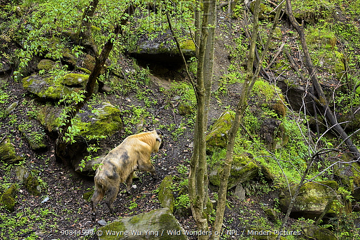 Takin (Budorcas taxicolor) in forest, Tangjiahe Nature Reserve, Sichuan, China.