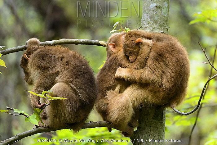Tibetan macaques (Macaca thibetana) babies playing, Tangjiahe Nature Reserve, Sichuan, China.
