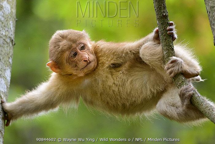 Tibetan macaque (Macaca thibetana) baby playing in tree, Tangjiahe Nature Reserve, Sichuan, China.