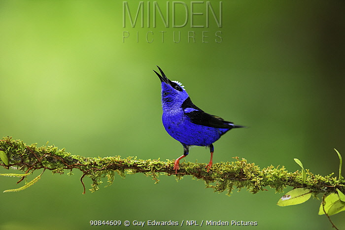 Red-legged honeycreeper (Cyanerpes cyaneus) male calling, perched on moss covered branch. Costa Rica.