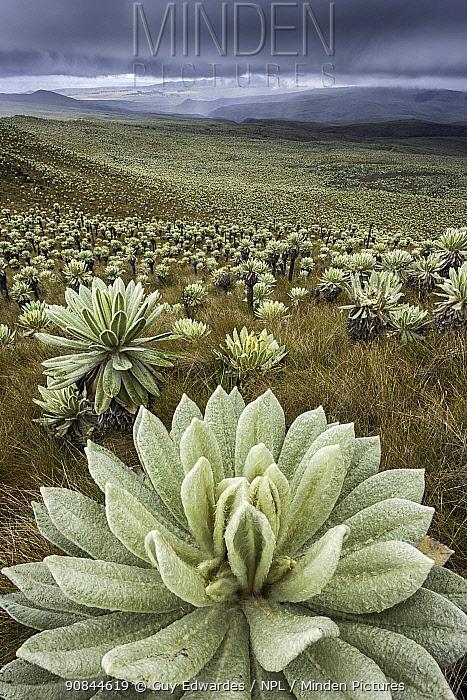 Frailejon (Espeletia pycnophylla) plants on slope in paramo. Voldero Lagoons, El Angel Ecological Reserve, Carchi Province, Ecuador. August 2010.