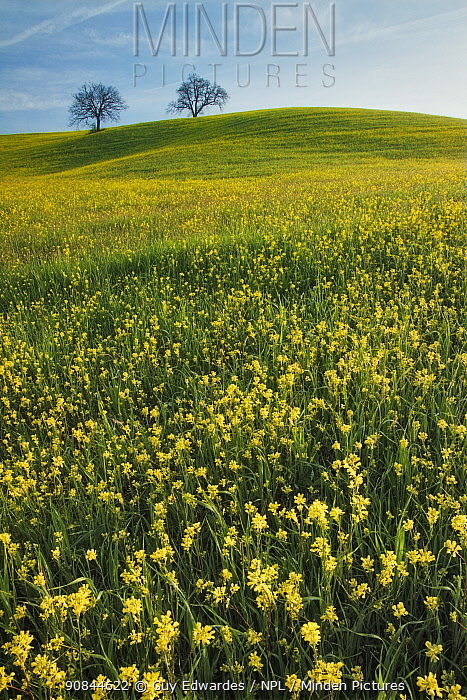 Field of Mustard (Sinapis arvensis), two trees on hill in distance. Near San Quirico d'Orcia, Val d'Orcia, Tuscany, Italy. April 2010.
