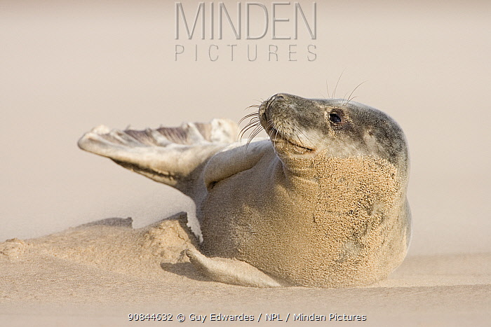 Grey seal (Halichoerus grypus) pup lying on beach in sandstorm, covered in sand. Donna Nook, Lincolnshire, England, UK. January.