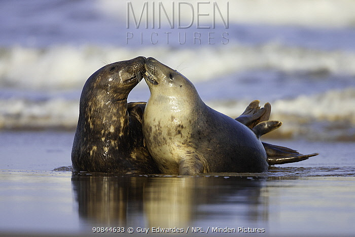 Grey seal (Halichoerus grypus), juvenile pair interacting in surf. Donna Nook, Lincolnshire, England, UK. January.