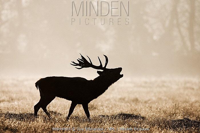 Red deer (Cervus elaphus) stag calling in grassland. Bushy Park, London, England, UK. October.
