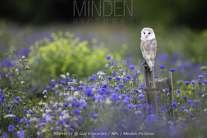 Barn owl (Tyto alba) perched in Cornflower (Centaurea cyanus) meadow. Gloucestershire, England, UK. Captive.