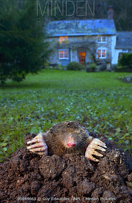 DELETE Common mole (Talpa europaea) on molehill at dusk, house in background. Uplyme, Devon, England, UK. December. Controlled conditions
