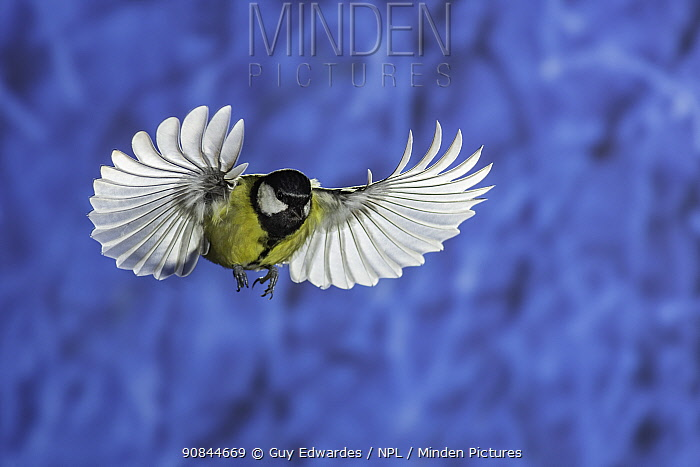 Great tit (Parus major) in flight. Slovenia. February.