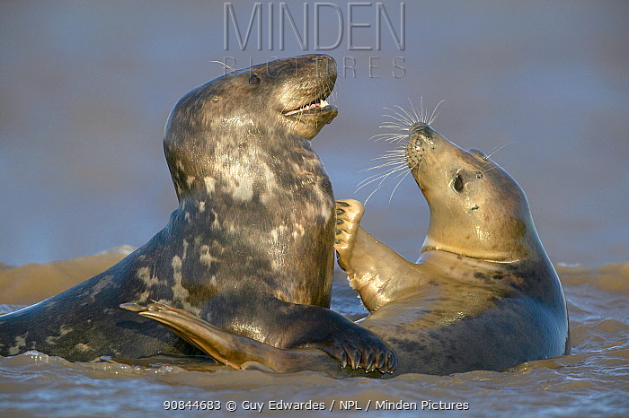 Grey seal (Halichoerus grypus) pair interacting in surf. Donna Nook, Lincolnshire, England, UK. January.
