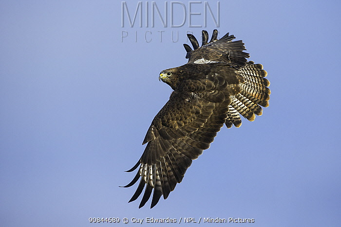 Common buzzard (Buteo buteo) in flight. Gloucestershire, England, UK. January. Captive.