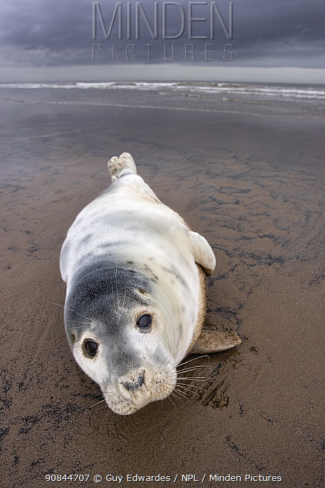 Grey seal pup (Halichoerus grypus) resting on sandy beach. Donna Nook, Lincolnshire, England, UK. January.
