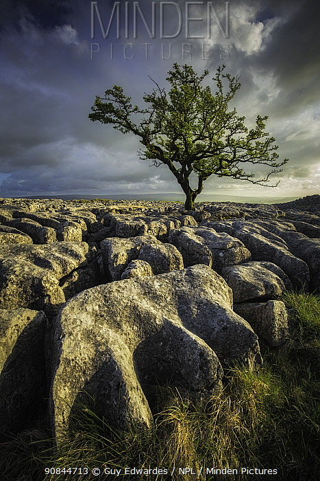 Tree viewed across limestone pavement, in evening light. Twisleton Scars, Yorkshire Dales National Park, North Yorkshire, England, UK. May 2015.